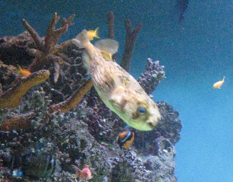 Šī zivtiņa protot uzpūsties un izplest adatas. Tā arī nesagaidījām