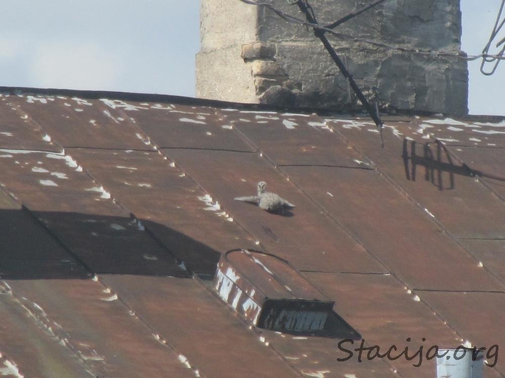 Sudrabkaijas mazulis cīnās ar slīpo jumtu. Šoreiz sekmīgi.