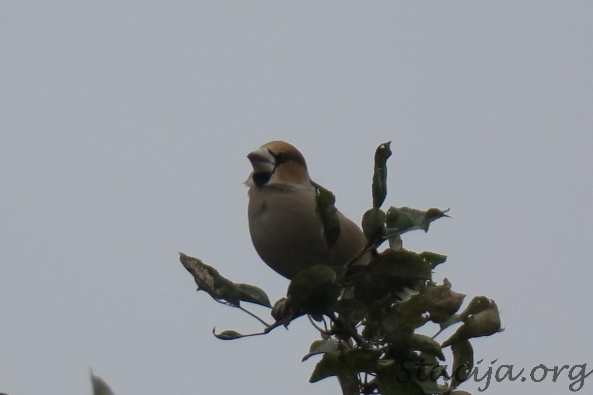 Dižknābis. Iespējams, dusmīgākā paskata putniņš Latvijā